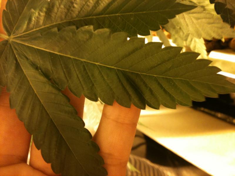 Mottled Leaf - Day 1