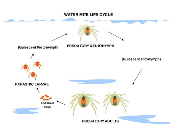Water Mite Life Cycle