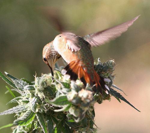 Hummingbird High